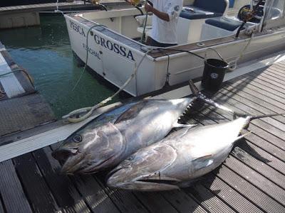 Bigeye Thunfisch Double Header