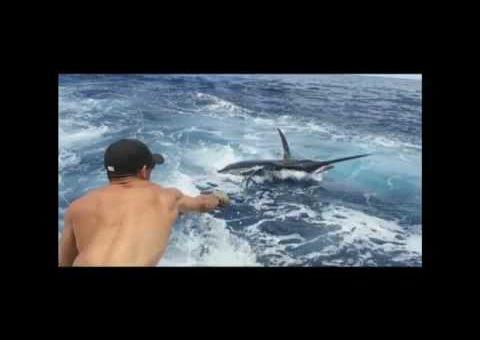 Madeira- Blue Marlin Action